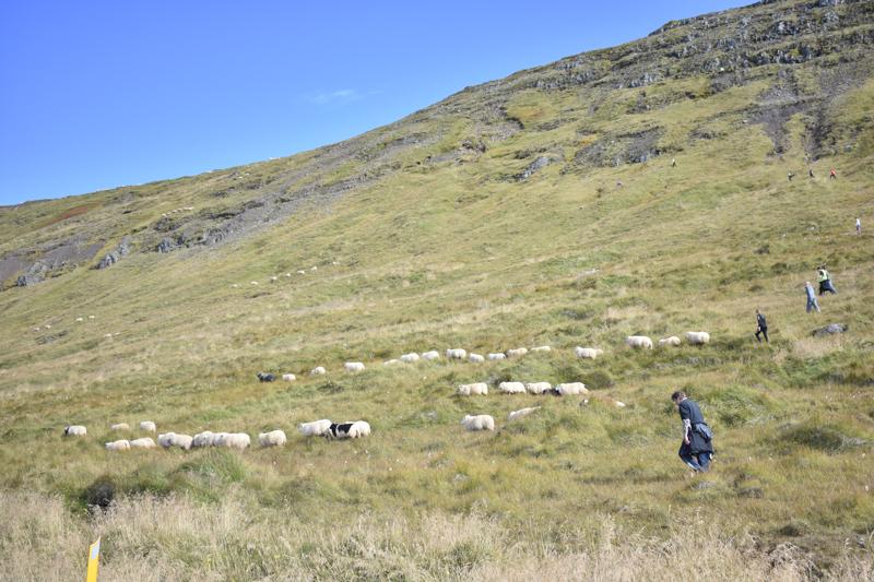 Bild Schafe einsammeln
