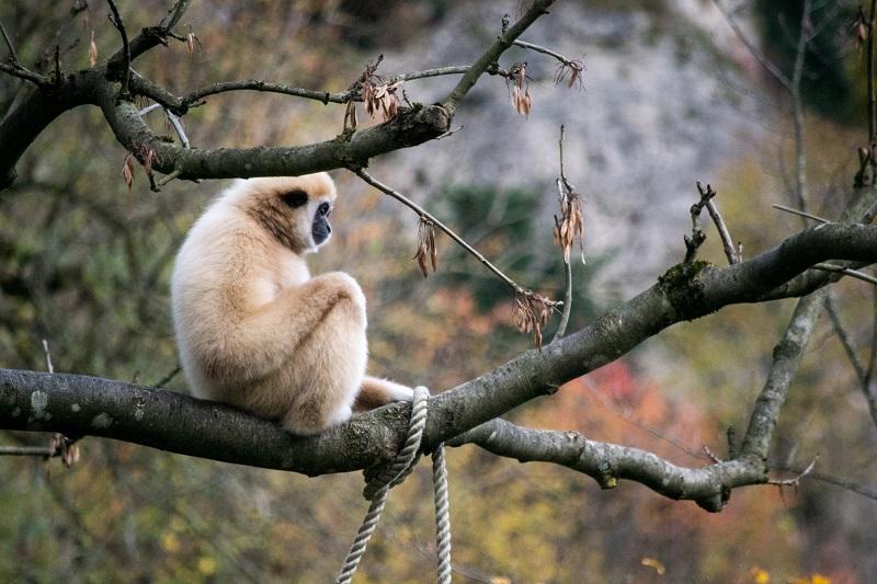 Ein heller Weißhandgibbon sitzt auf einem Ast.