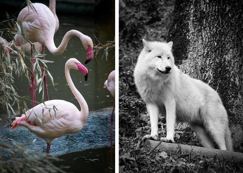 Rosaflamingos und ein Polarwolf im Salzburger Zoo