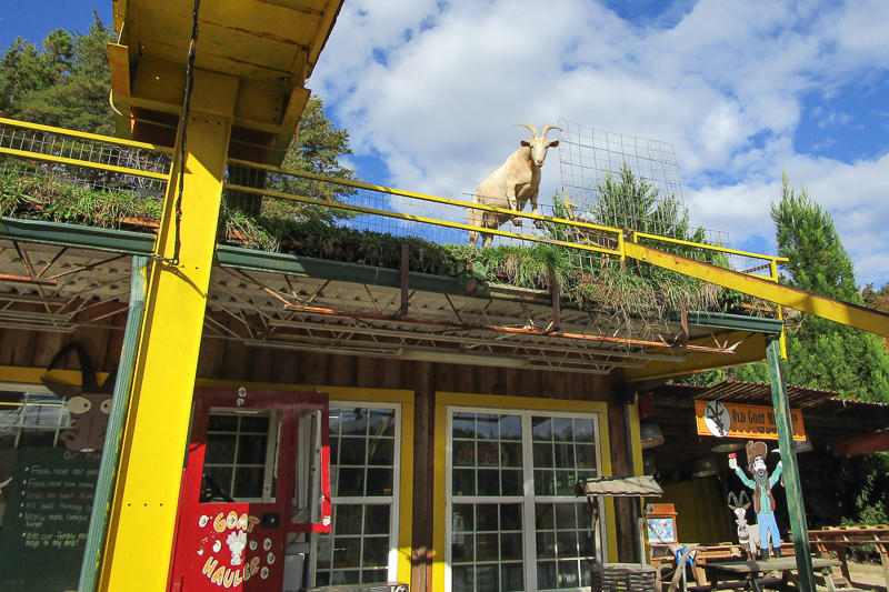 """A famous place called """"Goats on the Roof"""""""