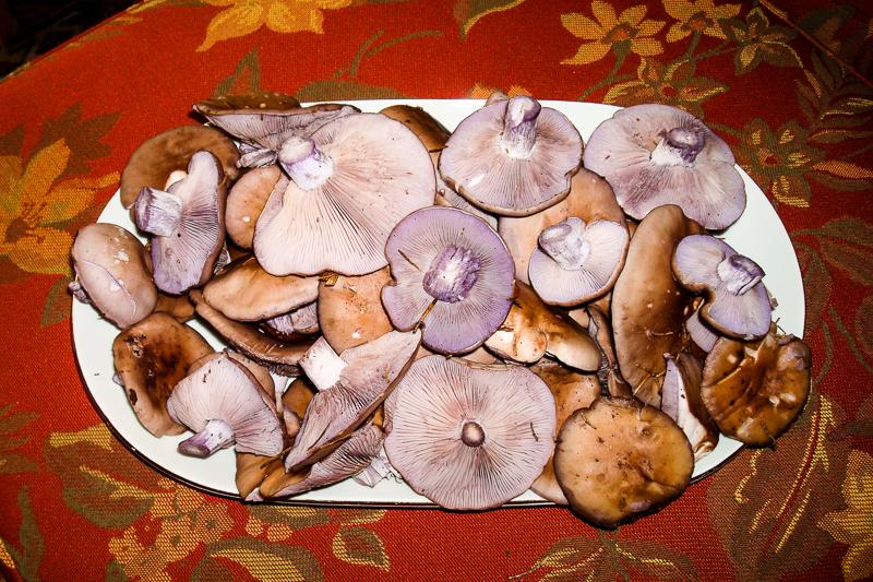 Tipps und Tricks für's Schwammerlsuchen: Rötelritterlinge liegen auf einem Teller.