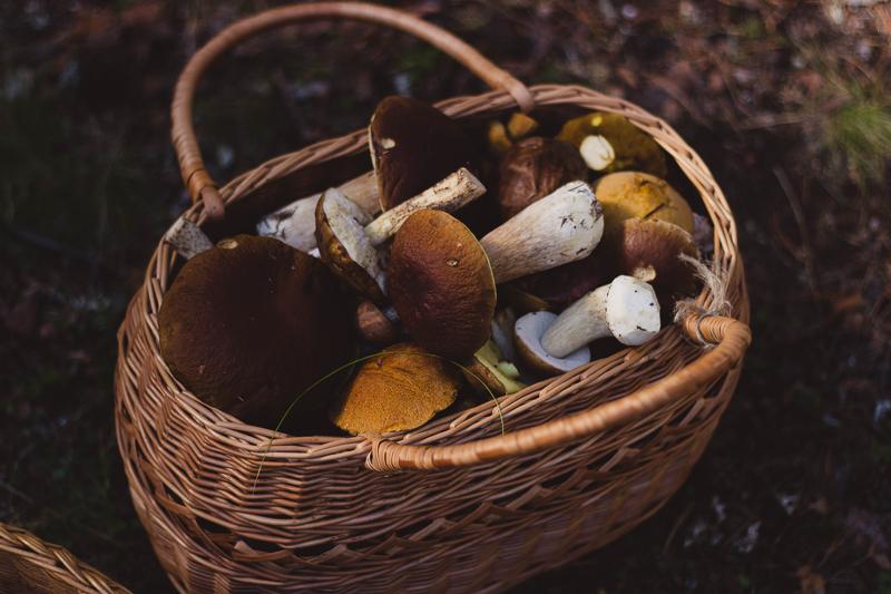 Tipps und Tricks für's Schwammerlsuchen: Gesammelte Steinpilze in einem Korb.