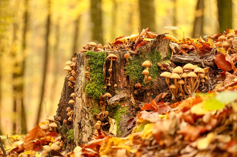 Tipps und Tricks für's Schwammerlsuchen: Stockschwämme an einem Baumstumpf wachsend.