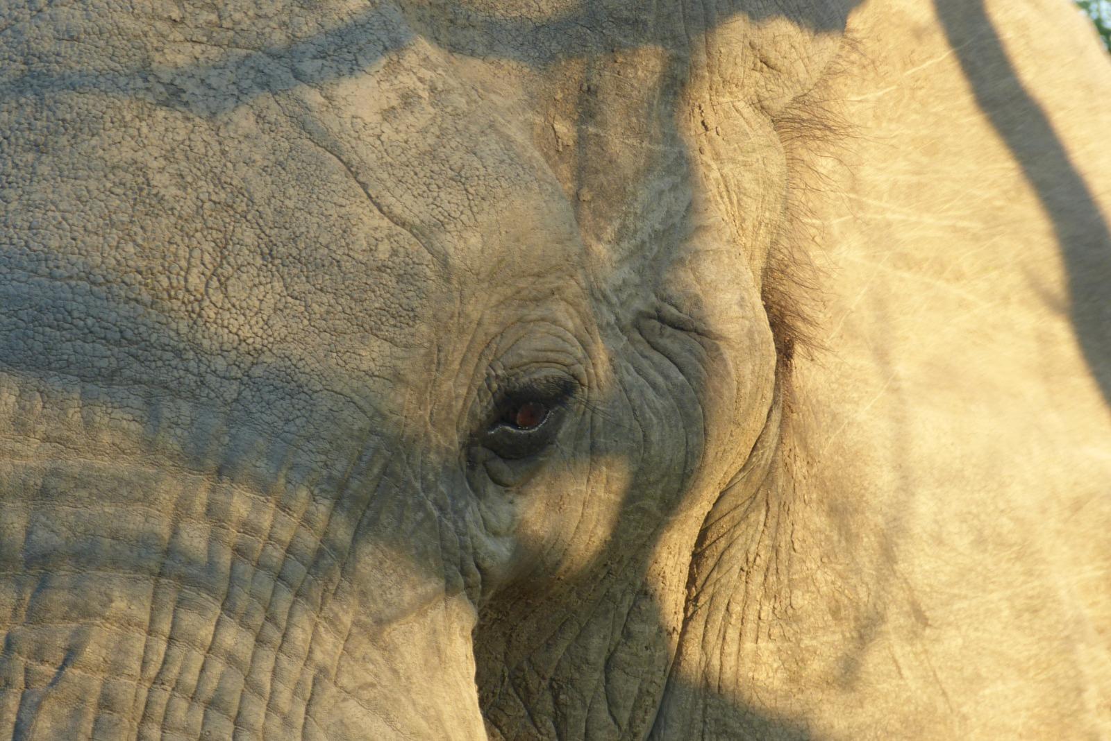 Nahaufnahme von einem Elefant
